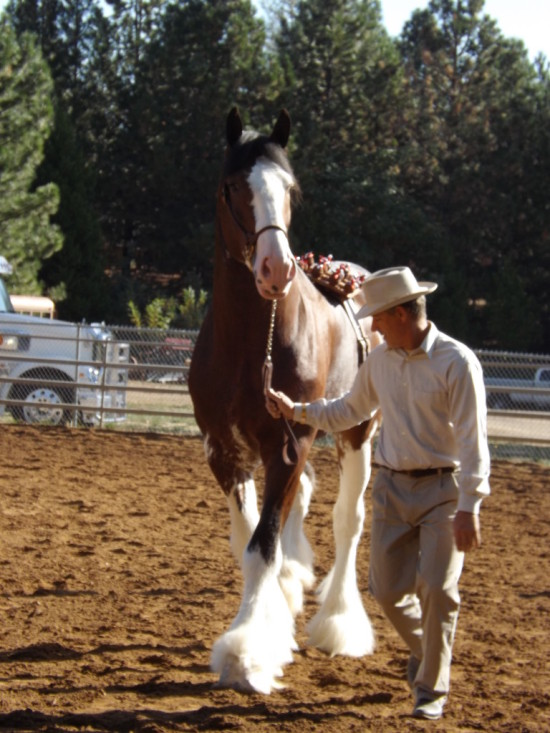 Beautiful Clydesdale (HC)
