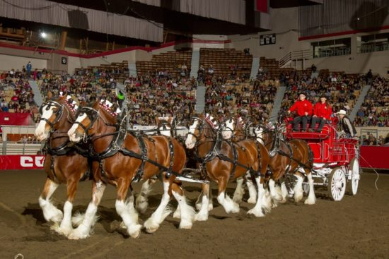 cal-crush-clydesdales-grand-national-rodeo